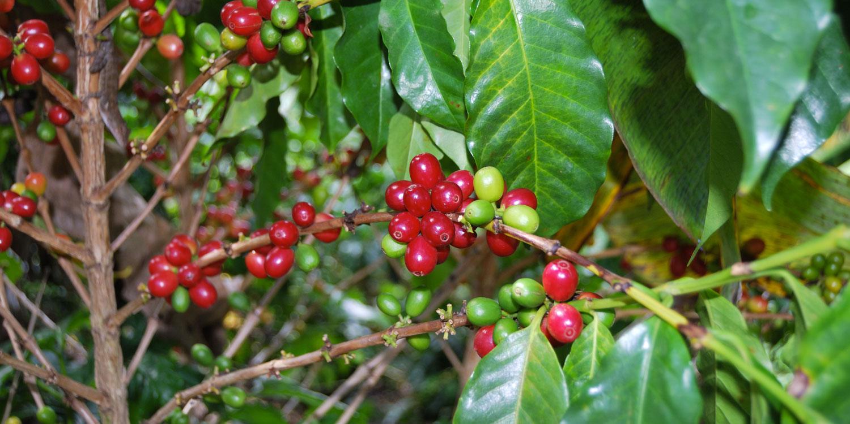caffe_sulla_pianta